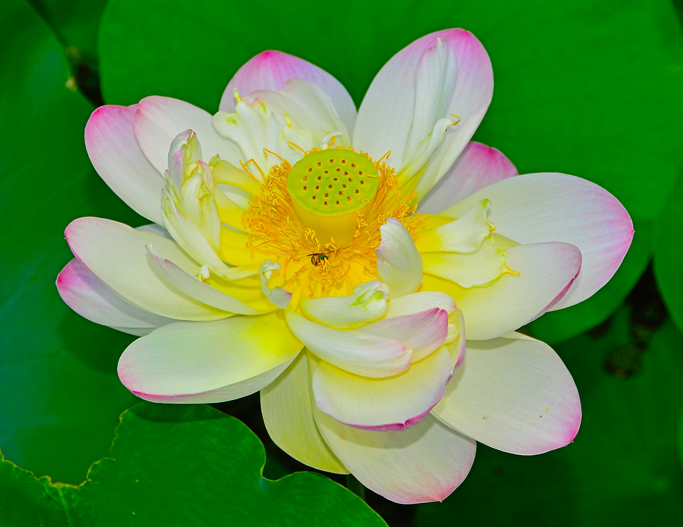 Lotus and Green Fly