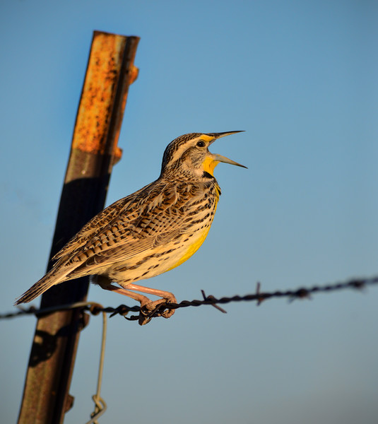 Meadowlark on barbed wire